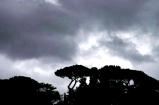 Roman Trees